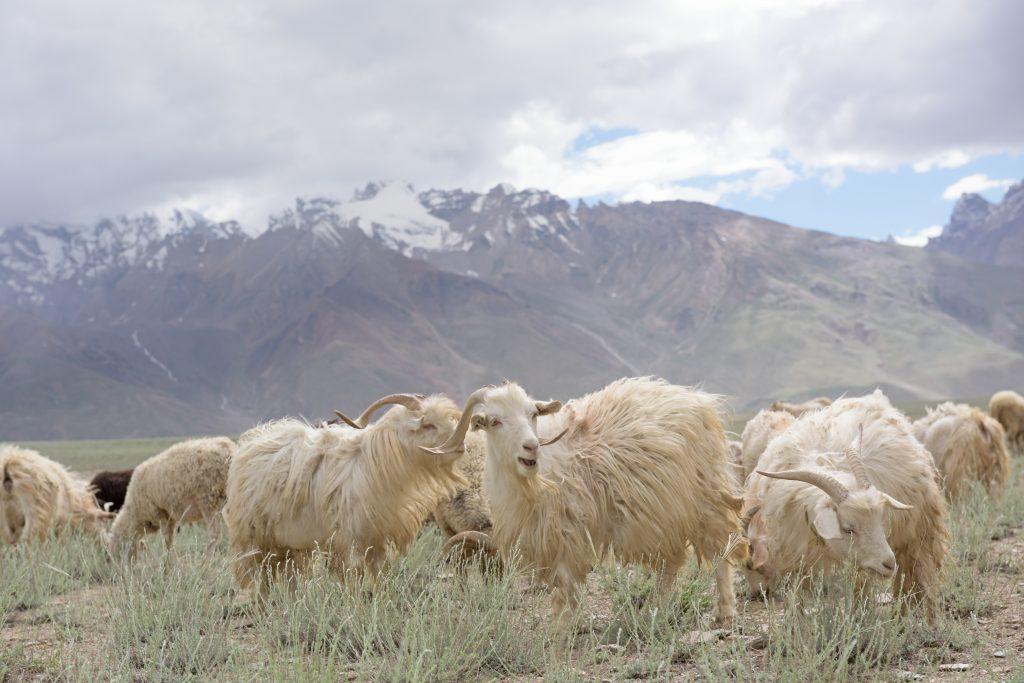 Ziegen in schöner Landschaft im Himalayagebirge