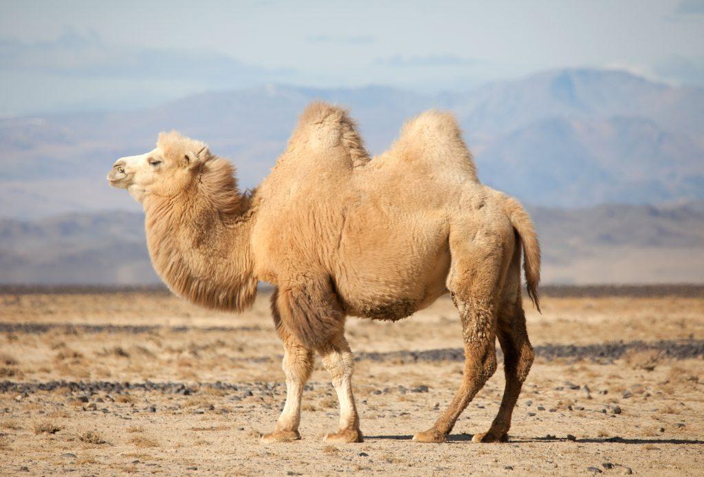 Kamel mit schönem Fell steht in der Wüste